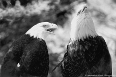TWO BALD EAGLES  #BW900