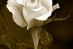 ROSE IN SEPIA  #BW904