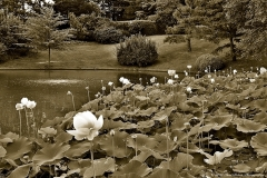LOTUS VIEW IN SEPIA  #BW903